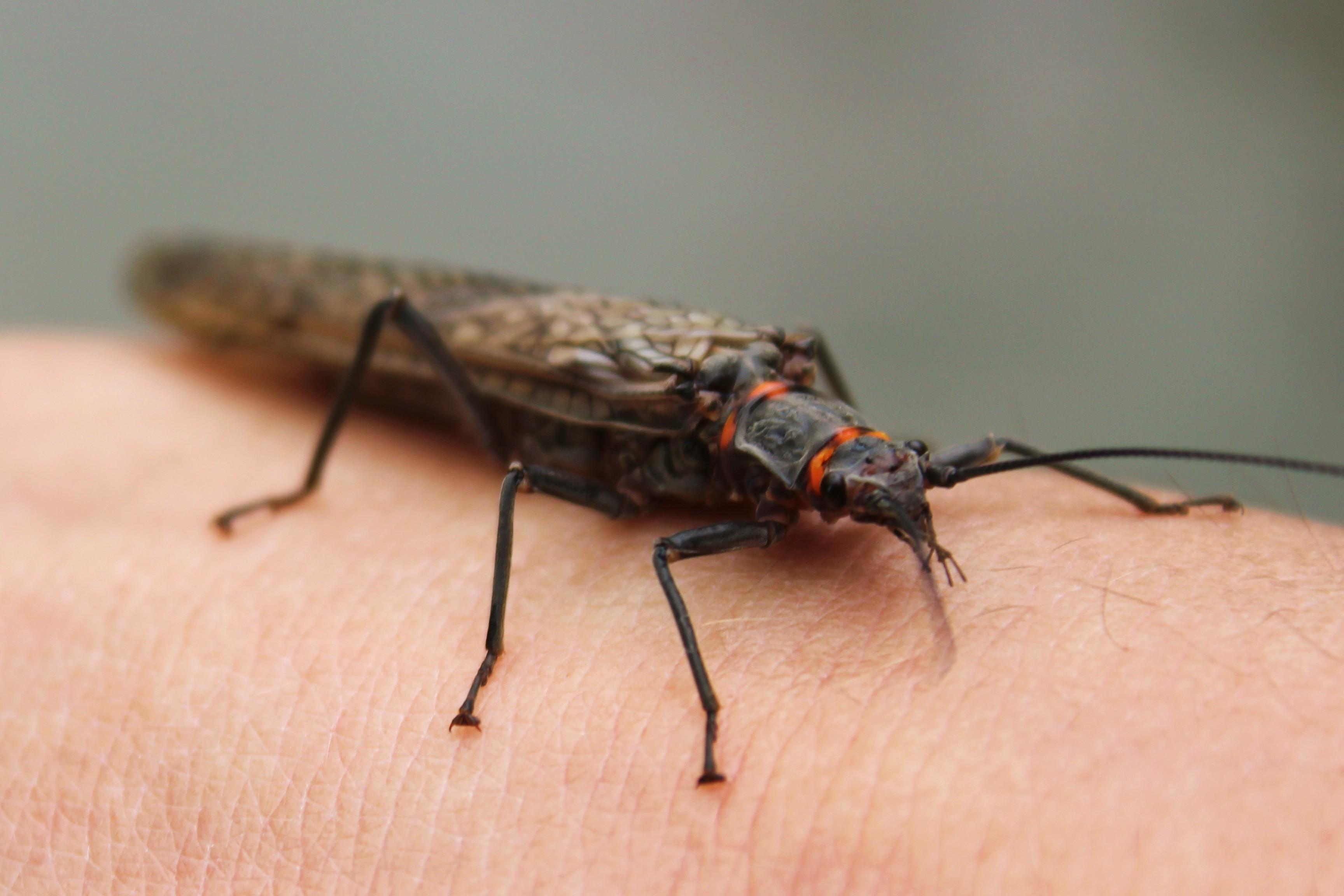 Rock Creek Salmon Fly