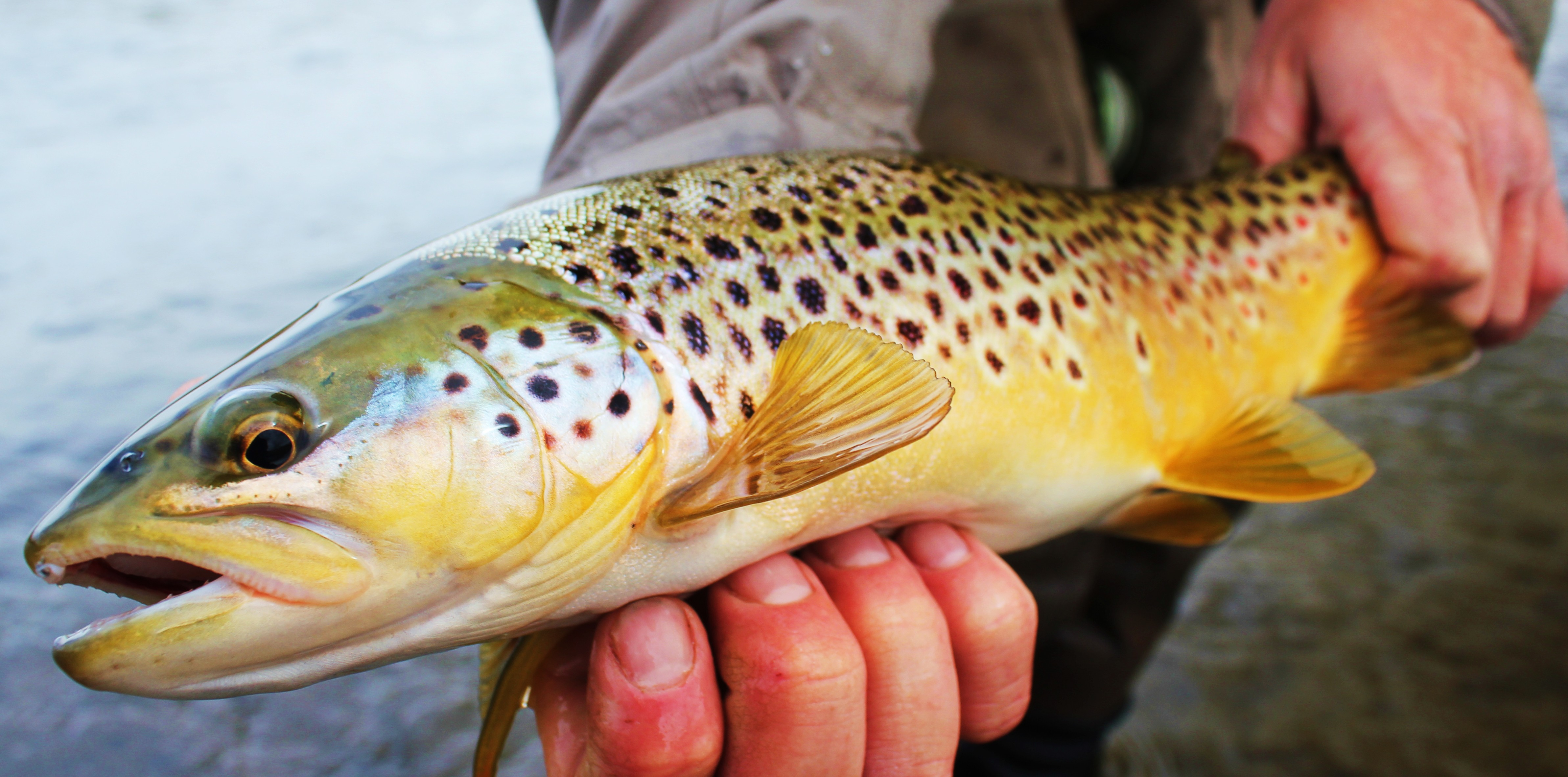 Bitterroot Brown Trout